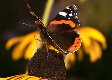 Free Butterfly Sitting On The Marigold Royalty Free Stock Images - 13551269