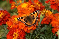 Free Butterfly Sitting On The Marigold Stock Image - 13551281