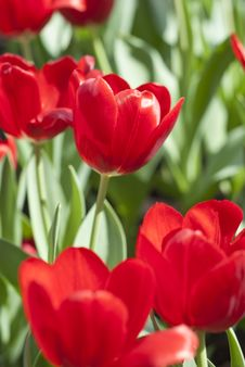 Free Red Tulip Flower Stock Images - 13551704