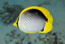 Free Black Backed Butterfly Fish Royalty Free Stock Photography - 13551797