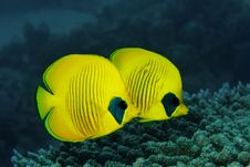Couple Of Masked Butterfly Fish Royalty Free Stock Photos