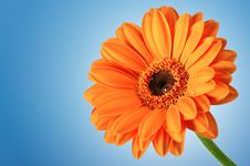 Free Orange Daisy On Blue Background Stock Photos - 13551963