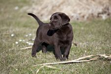 Free Chocolate Labrador Retriever Puppy Stock Photo - 13552420