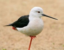 Free Black Necked Stilt Stand On A Single Leg Royalty Free Stock Images - 13552529