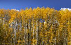Free Aspen Trees Stock Image - 13552641