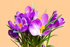 Free Crocus On Pink Background Royalty Free Stock Images - 13553479