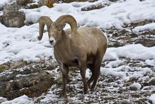 Free Snow Tipped Bighorn Stock Images - 13553804