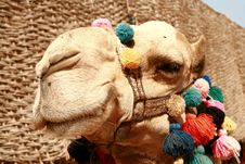 Free Camel Stock Image - 13554241