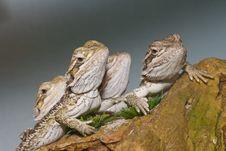 Free Bearded Dragons Stock Image - 13554421