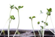 Free Seedlings Stock Image - 13554741