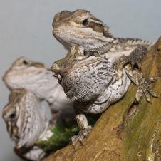 Free Bearded Dragons Stock Image - 13555511