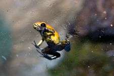 Free Black-legged Poison Frog Royalty Free Stock Photography - 13555627