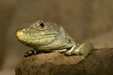 Free Ocellated Lizard Stock Photos - 13555703