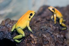 Free Black-legged Poison Frog Stock Images - 13555854