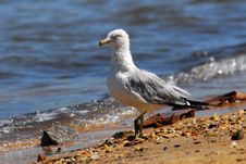 Free Ring-Billed Gull On Beach Royalty Free Stock Image - 13556286