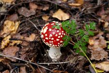 Free Fly Agaric Stock Image - 13556601
