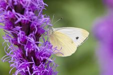 Free White Butterfly Stock Photography - 13557902