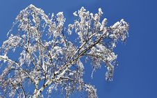 Free Birch In A Snow Royalty Free Stock Images - 13558099