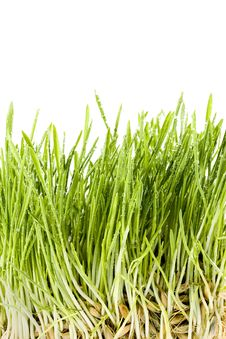 Free Green Grass Royalty Free Stock Image - 13558236