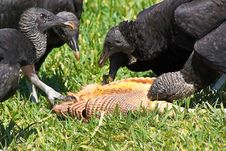 Free Turkey Vultures Feeding Royalty Free Stock Image - 13558256