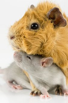 Free Guinea Pig And Rat On White Royalty Free Stock Photo - 13558365