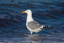 Free Seagull Royalty Free Stock Photo - 13559225