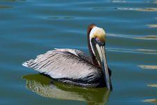 Free Large Pelican Swimming Stock Photo - 13559260