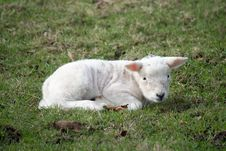 Free Lamb Royalty Free Stock Photo - 13559725