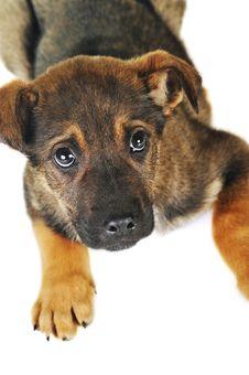 Free Brown Dog Stock Photos - 13559863