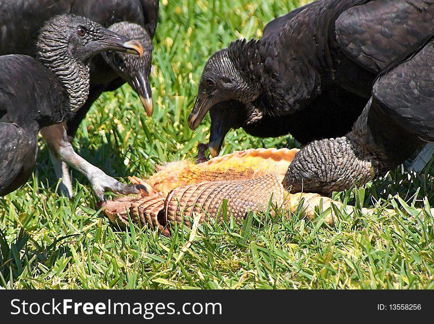 Turkey vultures feeding