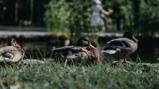 Free Close-Up Photo Of Ducks On Grass Royalty Free Stock Photo - 135539105