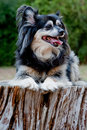 Free Mixed Breed Toy Pom Stock Images - 13564064