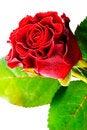 Free Rose Bud Stock Photos - 13568883