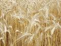 Free Wheat Heads Stock Image - 13568921