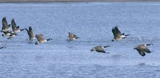 Free Canadian Geese Migration Stock Photography - 13560542