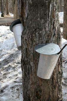 Free Buckets For Collecting Maple Sap Stock Photo - 13561440