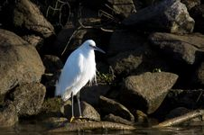 Free Snowy Egret Royalty Free Stock Photography - 13561887