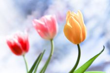 Free Tulips Royalty Free Stock Photography - 13563087