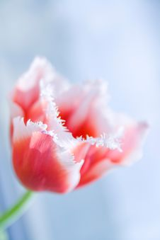 Free Pink Tulip Stock Photos - 13563093