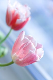 Free Pink Tulips Royalty Free Stock Photo - 13563115