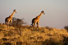 Free Two Giraffes Stock Image - 13563941