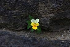 Free Viola Flower - Viola Tricolor Stock Image - 13565321