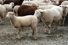 Free Herd Of Sheep Stock Images - 13565684