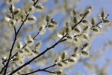 Free Willow Blossom Stock Photo - 13565900