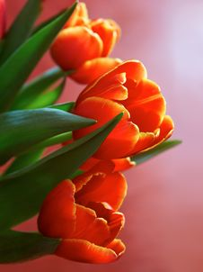 Free Red Spring Flowers Stock Photo - 13566850