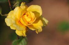 Free Yellow Rose Stock Image - 13567041