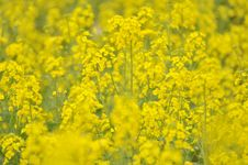 Free Rapeseed Field Royalty Free Stock Images - 13567169