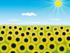 Free The Field Of Sunflowers Stock Image - 13568031