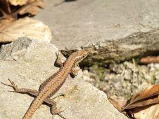 Free Sunbath Of Lizard Royalty Free Stock Photography - 13568097