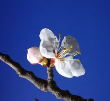 Free Apricot Flowers Features Royalty Free Stock Photos - 13568348